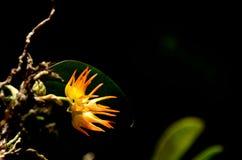 Bulbophyllum ovatum Seidenf. Royaltyfria Foton