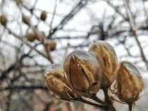 Bulbos de flor congelados en enero fotos de archivo libres de regalías