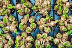 Bulbos de flor da mola em uma caixa em um mercado Imagem de Stock