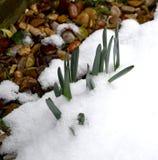 Bulbos de florecimiento en la nieve Fotos de archivo libres de regalías