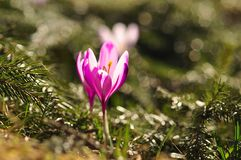 Bulbos de florescência da mola da flor roxa do açafrão Imagens de Stock
