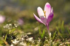 Bulbos de florescência da mola da flor roxa do açafrão Fotos de Stock Royalty Free