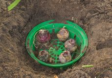 Bulbos de jacintos en una cesta plástica verde redonda para plantar imagenes de archivo