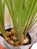 Bulbos de un jacinto de uva foto de archivo libre de regalías