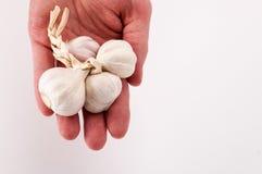 Bulbos del ajo a mano Imagen de archivo libre de regalías