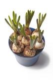Bulbos del jacinto de uva del Muscari fotografía de archivo libre de regalías