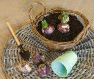 Bulbos del jacinto en una cesta para el florecimiento forzado Imagen de archivo