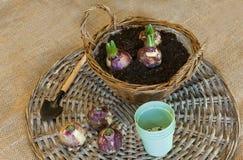 Bulbos del jacinto en una cesta para el florecimiento forzado Imagenes de archivo