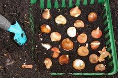 Bulbos del tulipán Imagen de archivo