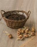 Bulbos do açafrão de outono ao lado da cesta Imagens de Stock Royalty Free