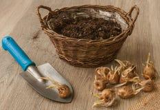 Bulbos do açafrão de outono ao lado da cesta Imagem de Stock Royalty Free
