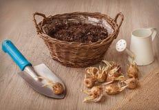 Bulbos do açafrão de outono ao lado de uma pá e de uma cesta Fotografia de Stock Royalty Free