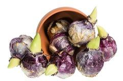 Bulbos do jacinto que derramam um potenciômetro Fotos de Stock