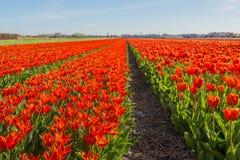 Bulbos florecientes del tulipán del rojo en un campo holandés Imágenes de archivo libres de regalías