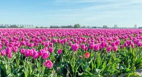 Bulbos florecientes rosados del tulipán del cierre Fotografía de archivo