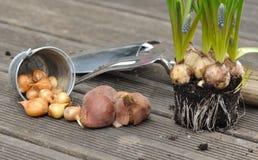 Bulbos, flores do anf das cebolas na plataforma Imagem de Stock