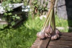 Bulbos frescos del ajo con el tallo largo en el jardín imagen de archivo