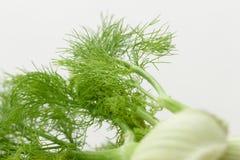 Bulbos orgânicos frescos da erva-doce para finalidades culinárias isolados no whi Imagens de Stock Royalty Free
