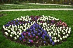 Bulbos p?rpuras, blancos y rosados de la primavera temprana fresca del jacinto, crecidos en los fowerbeds del jard?n del parque d imagen de archivo