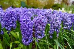 Bulbos tempranos frescos del jacinto de la primavera, crecidos en jardín de la tierra, gladiolo y jacinto Macizo de flores con lo Foto de archivo