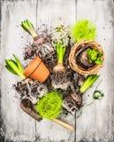 Bulbos y pala y macetas del jardín del jacinto de los brotes Fotografía de archivo