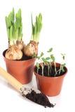 Bulbos y plantas de semillero Imagen de archivo