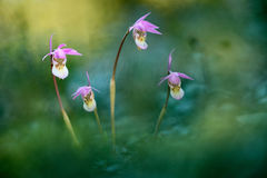 Bulbosa de calypso, belle orchidée rose, Finlande Orchidée sauvage terrestre européenne fleurissante, habitat de nature, détail d image stock