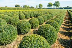 Bulbous boxwood bushes Royalty Free Stock Images