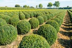 Bulbous boxwood bushes Royalty Free Stock Images