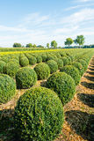 Bulbous boxwood bushes Stock Photography