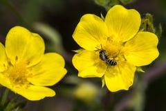 Free Bulbous Buttercup Ranunculus Bulbosu Stock Photos - 191646093