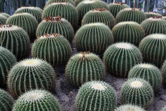 Bulbous cactus Royalty Free Stock Images