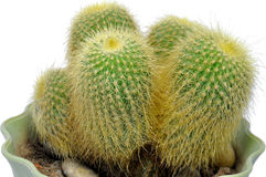 Bulbous Cactus Stock Photography