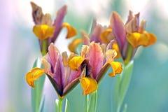Free Bulbous Iris Flowers Royalty Free Stock Photography - 30558747