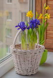 Bulbous irises in a basket and daffodil  on the window Royalty Free Stock Photos