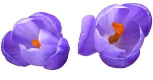 Bulbs. Isolated Flower Bulbs Royalty Free Stock Photography