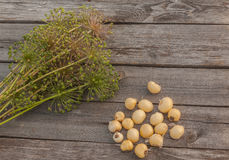 Bulbs Allium aflatunense   on a wooden background Royalty Free Stock Photos