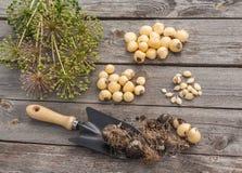 Bulbs Allium aflatunense  on a wooden background Stock Image