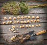 Bulbs Allium aflatunense   on a wooden background Royalty Free Stock Photo