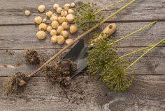 Bulbs Allium aflatunense   on a wooden background Royalty Free Stock Image
