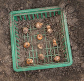 Bulbs of daffodils in a square of   plastic basket for planting. Bulbs of daffodils in a square of green plastic basket for planting bulbs in the flowerbed Stock Photo