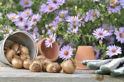 Bulbs of flowers on a table. Bulbs of flowers on a gardening table in front of pink flowers Stock Photography