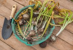 Bulbs of hyacinths and garden shovel Royalty Free Stock Photography