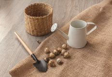 Bulbs of muscari next to a basket, shovel and watering can Stock Photos