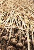Bulbs Of Organic Garlic Drying Royalty Free Stock Image