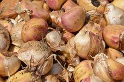 Bulbs of ornamental plants Royalty Free Stock Photo