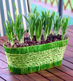 Bulbs Potted Stock Image