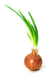 Bulbs of red onion Royalty Free Stock Image