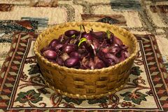 Bulbs of red onion, intended for planting, in a small birch-bark basket Royalty Free Stock Photos