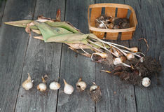 Bulbs of tulips dug up after completion of vegetation on a woode Royalty Free Stock Photos